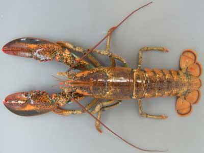オマールエビには大西洋アメリカ大陸沿岸の本種と、ユーラシア大陸沿岸にい... アメリカンロブスタ