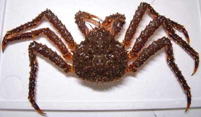 螃蟹 去 日本 吃 世界 上 最大 的 螃蟹 最大 的 螃蟹 ...