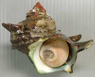 形態◆殻に5本内外の螺肋(筋)があり、成長すると管状の棘を伸ばす。画像... 市場魚貝類図鑑