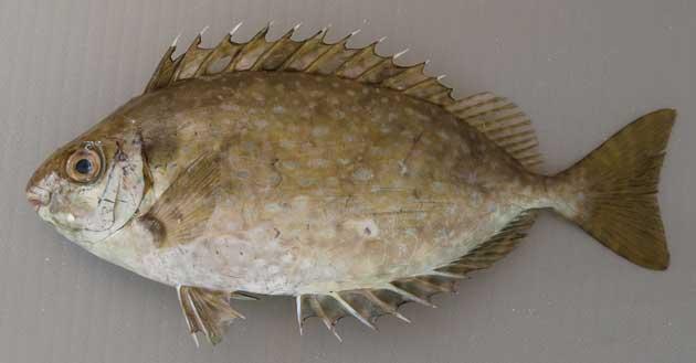 体長25cm前後になる。本州、四国、九州にいるものと、沖縄などにいるシモフリアイゴ型がある。背鰭(せびれ)、尻鰭(しりびれ)に毒のある鋭い棘がある。側扁形(左右に平たい)。本州などのアイゴは白い(細かい)斑紋はあっても大きく少ない。