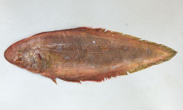 アカシタビラメの形態写真