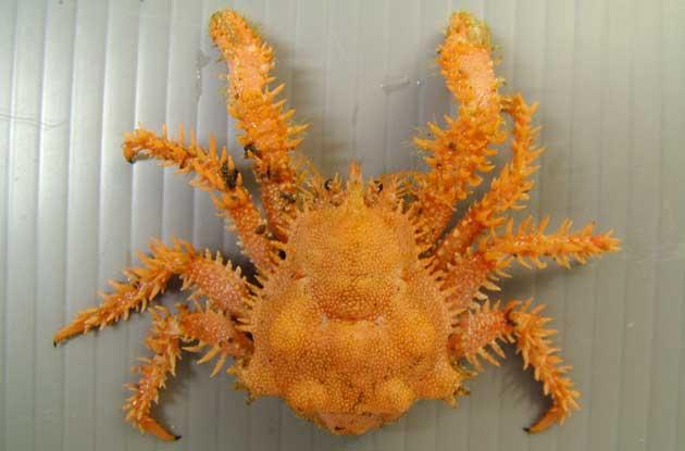 オダワラフサイバラガニの形態写真