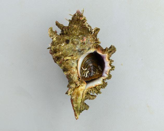 100mm SL 前後になる。テングガイに似ている個体がある。小型で殻は非常に白いものからくすんだ色、灰紫色のものなどいろいろ。殻口には牙状突起がある。