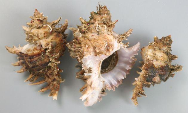 100mm SL 前後になる。テングガイに似ている個体がある。小型で殻は非常に白いものからくすんだ色、灰紫色のものなどいろいろ。殻口には牙状突起がある。[殻長100mm前後。テングガイに近い形態]