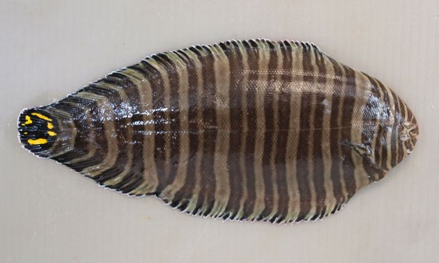 シマウシノシタの形態写真