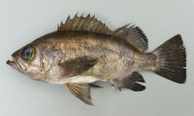 SL 25cm前後。体色は黒か、灰色でときに薄い横帯が出る。体側には目立つ斑紋がない。胸鰭は17軟条。