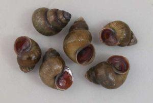 ヒメタニシのサムネイル写真