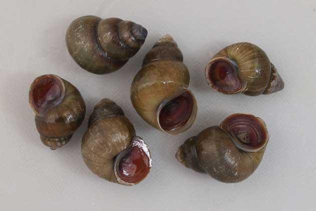 ヒメタニシの形態写真