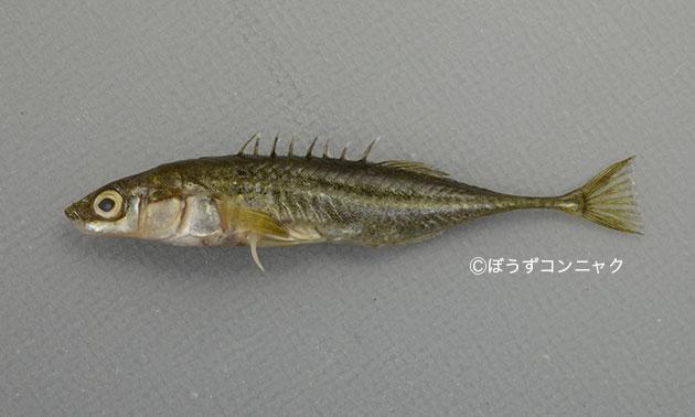 トミヨの形態写真