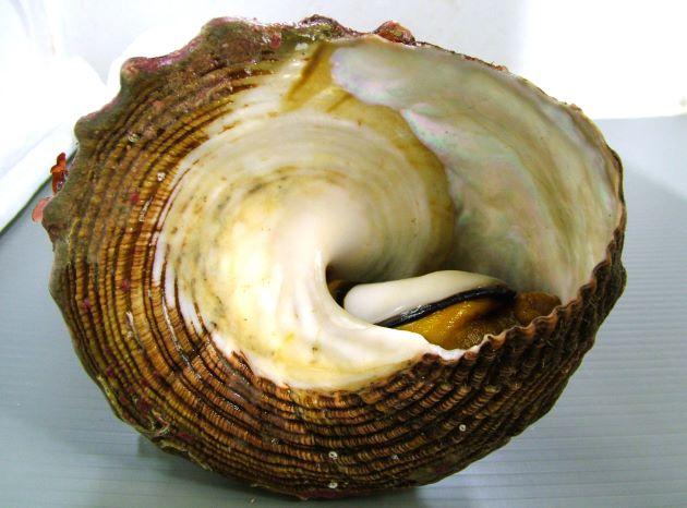 殻幅20cm前後になる。二は石を思わせる。周縁部に管状の平たい突起があるが、大型の個体ではとれてなくなっている模様。