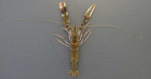 体長7センチ前後になる。ハサミ状になった第一胸脚(大鉗、小鉗)が特徴で尾の近くに黒い斑文がある。