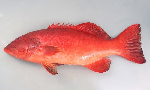 最大1.2m SL 前後になる。全体に赤く、赤褐色、もしくは青い小さな斑文が無数にある。胸鰭は淡い単色。D(Dorsal fin)/Ⅷ、11 A(Anal fin)/Ⅲ、8 P1(Pectoral fin)/14-17