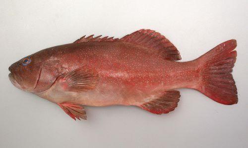 体長1m前後になる。全体に赤く、赤褐色、もしくは青い小さな斑文が無数にある。胸鰭は淡い単色。D(Dorsal fin)/Ⅷ、11 A(Anal fin)/Ⅲ、8 P1(Pectoral fin)/14-17 [養殖]