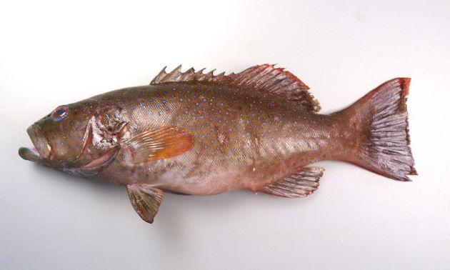 体長1m前後になる。全体に赤く、赤褐色、もしくは青い小さな斑文が無数にある。胸鰭は淡い単色。D(Dorsal fin)/Ⅷ、11 A(Anal fin)/Ⅲ、8 P1(Pectoral fin)/14-17