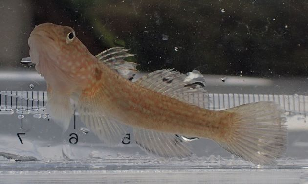 体長9cm前後になる。頭部ほおを中心に青みを帯びた大きな白色の斑紋がまばらにある。成魚の雄意外は背鰭の軟条は長く糸状に伸びない。胸鰭基部に薄茶色の横帯があり、その中に枝分かれしたり途切れたりする橙色の線がある。