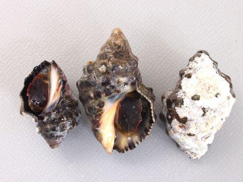 殻長3-5cmほど。螺肋は黒く幅の広い帯状。殻口内は黒紫色。島根県松江市鹿島町産。