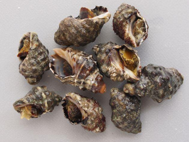 殻長3-5cmほど。螺肋は黒く幅の広い帯状。殻口内は黒紫色。大分県宇佐市産。