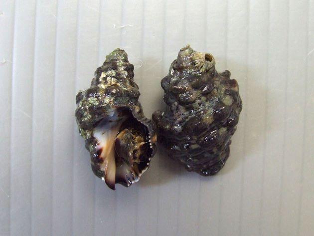 殻長3-5cmほど。螺肋は黒く幅の広い帯状。殻口内は黒紫色。広島県倉橋島産。