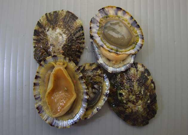 殻長4-6cmほど。貝殻は前後に長く、比較的低い。