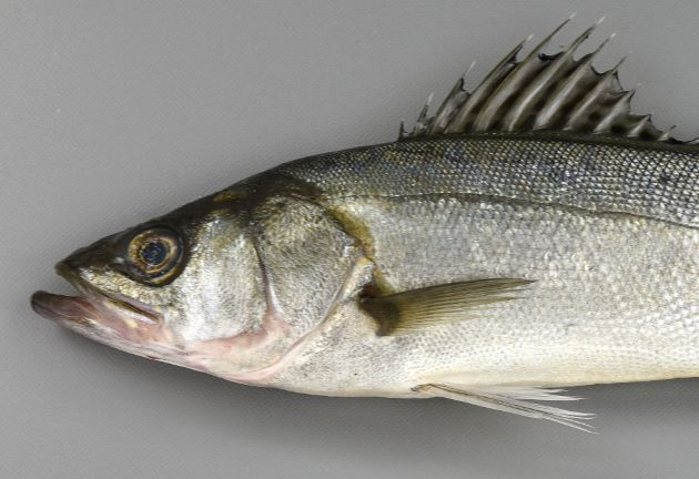 80cm SL 前後になる。吻は長く先端が尖る。尾柄部は長い。背鰭軟条は12-14本。体側に黒い斑点があるものとないものがある。斑点はあっても鱗と同じ大きさか、それよりも小さい。[東京湾、斑紋のないタイプ フッコサイズ全長30cm、重さ274]