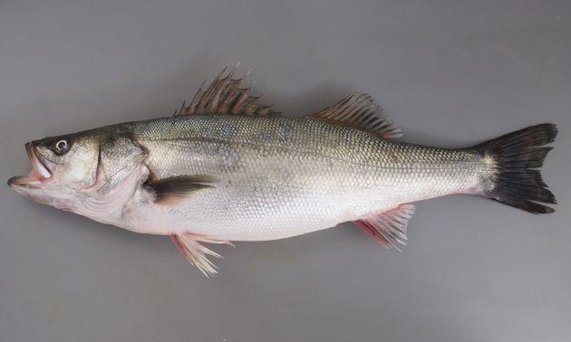 秋に東京湾のやや深場でとれた「腹太すずき」。体長70cmで抱卵していた。