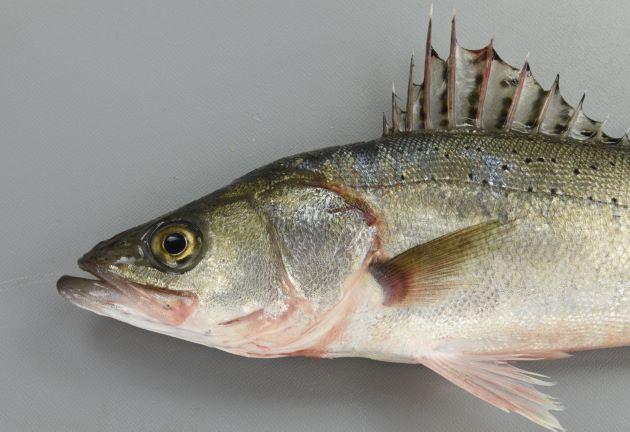 80cm SL 前後になる。吻は長く先端が尖る。尾柄部は長い。背鰭軟条は12-14本。体側に黒い斑点があるものとないものがある。斑点はあっても鱗と同じ大きさか、それよりも小さい。[写真は八代海産で斑紋があるタイプ フッコサイズ全長35cm]