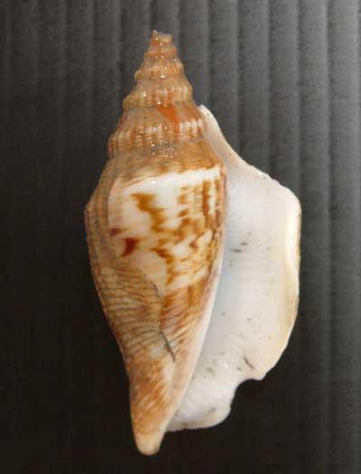 シドロガイの形態写真