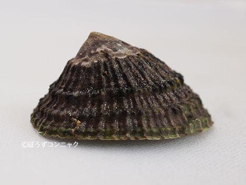 アミガサガイの形態写真