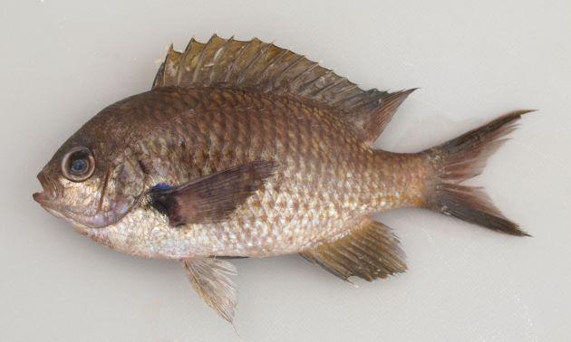 SL 10cm前後。側扁する(左右に平たい)。くすんだ色合いで黒っぽく見える。鱗が大きい。生きているときや鮮度のいいときには背鰭の後ろの白い小さな斑紋が光って見える