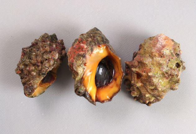 殻長4cm前後になる。体層丈夫はふくれ、螺塔は低い。結節はいちばん上部が棒状に盛り上がり、周辺部が赤褐色。