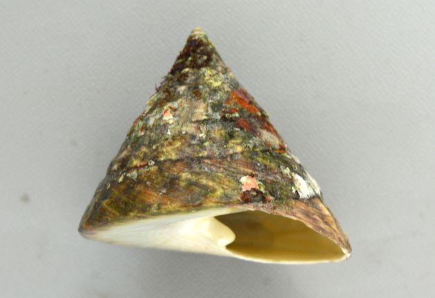 殻長8cm前後になり大形。正円錐で真横から見ると正三角形。表面に突起などはない。