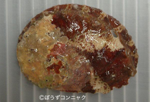 マアナゴウの形態写真