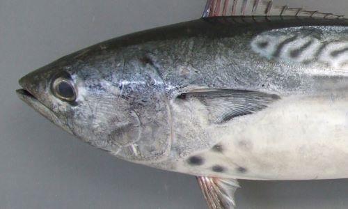 胸鰭の下に黒く丸い斑紋がある。この斑紋を灸(やいと)の跡とした地方名がある。