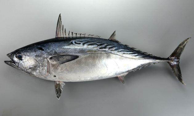 体長1m前後になる、背の部分に明るい部分があり、斜めの縞模様がある。胸鰭下に灸を思わせる黒い斑紋がある。