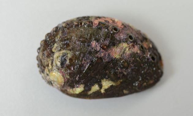 殻長10cm前後になるがトコブシと比べて小さい。貝殻は高く、厚みはまちまちで薄いのも厚みのあるものもある。螺肋は不鮮明で殻表に疣状の突起がある。