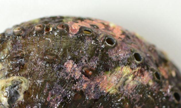 殻表に粒状の隆起(イボのような盛り上がり)があり、穴は少し煙突状になる。