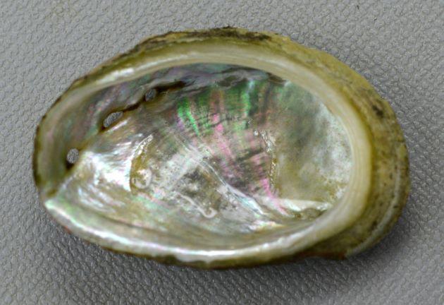 貝殻は膨らみ、真珠色の光沢がある。