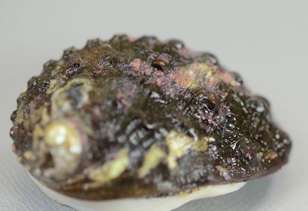 殻長10cm前後になる。貝殻は厚みがあって硬い。楕円で高く、膨らみがある。呼水孔は7前後ありわずかに煙突状に立つ。螺肋は不鮮明で代わりに疣状の突起がある。