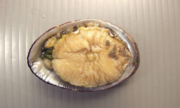 殻長10cm前後になる。貝殻は高く、厚みがある。螺肋は不鮮明で殻表に疣状の突起がある。見た目がネコが香箱座りしている姿に似ている。これで徳島県で「ひるねこ」というのかも。