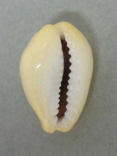 殻長3.5cm前後になる。