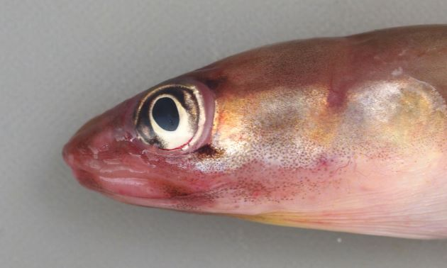体長60cm前後になる。体側の背部、腹部に銀糸状の斜め横縞がある。目の後方上下に斑紋がある。