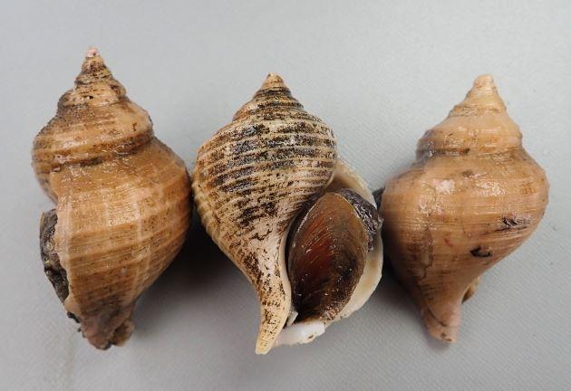 ヒメエゾボラモドキの形態写真