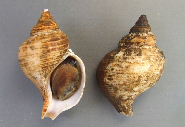 90mm SL 前後になる。球形に近く、エゾボラ属のなかでも小型。体層に3〜4の螺肋があり、太い螺肋のあいだに細く目立たない螺肋がある。貝殻は白でフィルム状の殻皮がある。[産地不明だが、茨城県もしくは千葉県銚子産だと思えるもの]