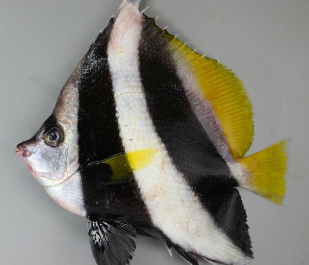 20cm SL 前後になる。側線は尾鰭基部まで達する。背鰭第4棘は長い。目を通る黒い横縞は目の下まで。背鰭棘は11。