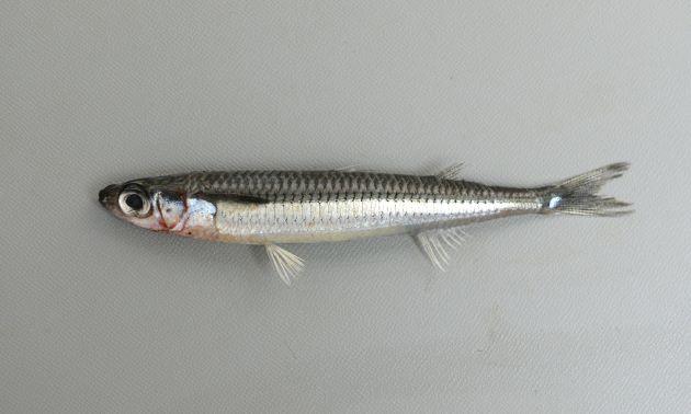 体長15cm前後になる。鱗は硬く紡錘形。腹鰭後端と肛門は離れている。