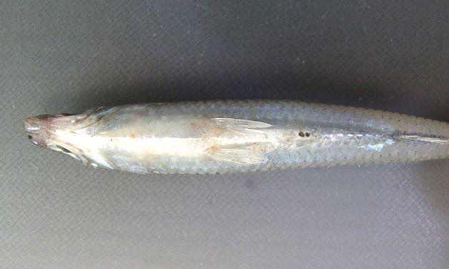 腹鰭後端と肛門は離れている。