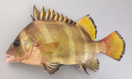セトダイの生物写真