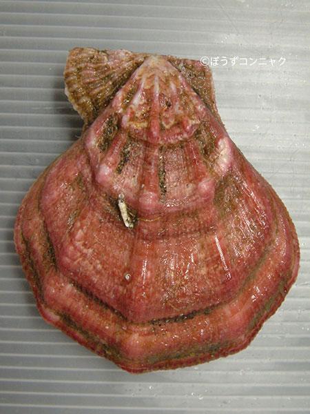 エゾキンチャクガイの形態写真