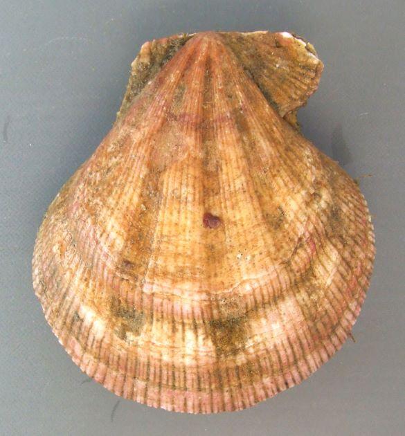 14cm SH 前後になる。あまり膨らまず、殻頂角は小さい。前の耳は後ろの耳よりも大きい。全体に無数の細い肋があり、4〜5本の太い放射肋がある。