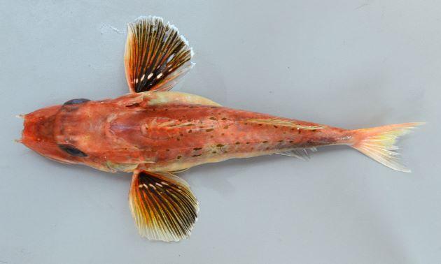 SL 30cm前後になる。吻棘はあまり長くない。第1背鰭に黒い斑紋があり、体側上部に黒いごま状に斑紋が散らばる。